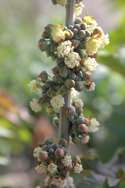 Castor Bean, Rincinus communis, not native