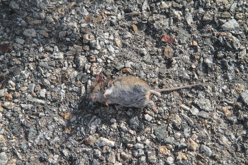 Dead field mouse.