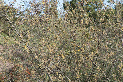 Arroyo Willow, Salix lasiolepis