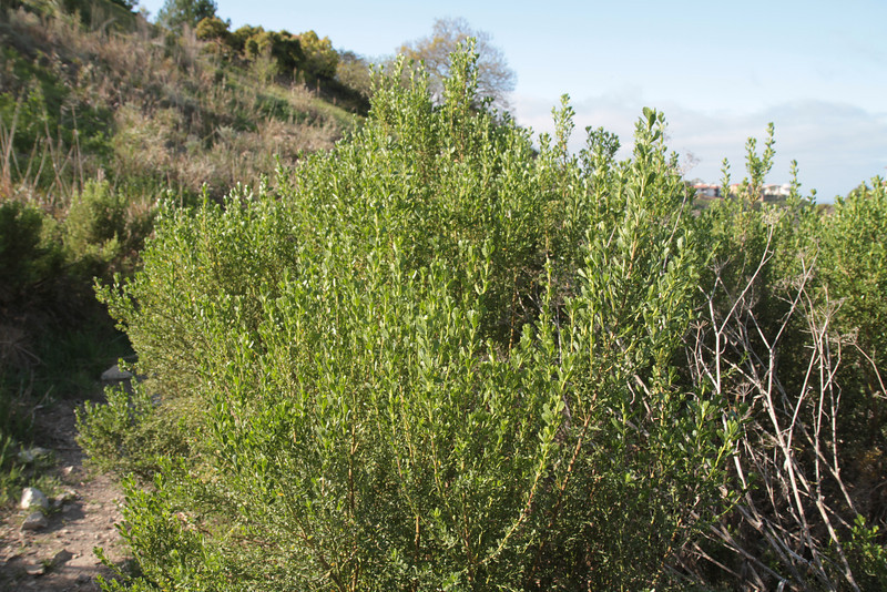 Coyote Bush, Baccharis pilularis