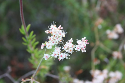 California Buckwheat, Eriogonum fasciculatum