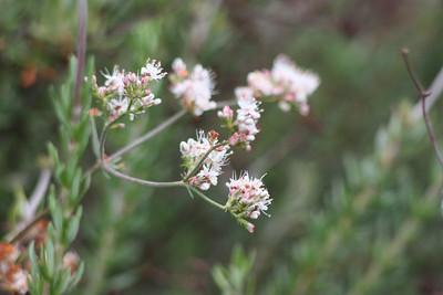 California Buckwheat, Erigonum fasciculatum