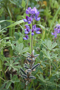 Arroyo Lupine, Lupinus succulentus, with seed pods