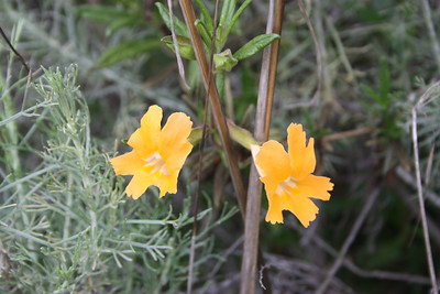 Sticky Monkey Flower, Mimulus aurantiacus. Was longiflorus and has been reclassified as aurantiacus.