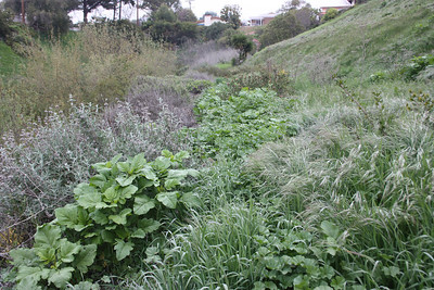Photo Point 2, Path? With Black Mustard, Brassica nigre, (the large leaves), and Wild Oats, Avena Fatua (the grass on the right).