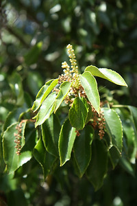Catalina Holly-leafed Cherry, Prunus ilicifolia ssp. lyoni