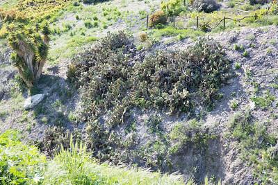 Coastal Prickly Pear, Opuntia littoralis