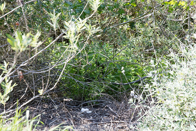 Mugwort, Artemisia douglasiana