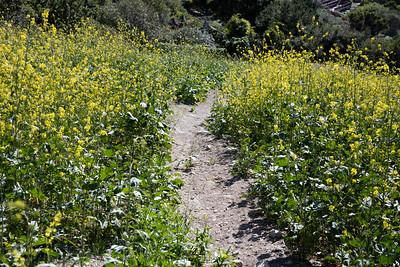 Black Mustard, Brassica nigra, not native
