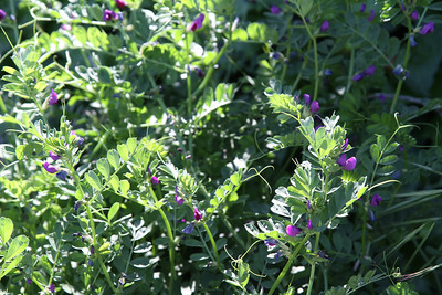 Spring Vetch, Vicia sativa, not native