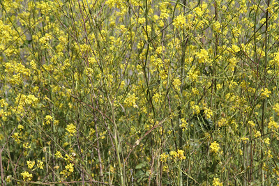 Black Mustard, Brassica nigra, not native