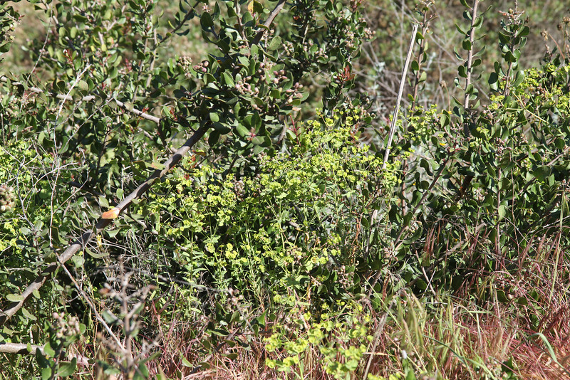 Spurge, Euphorbia terracina, not native