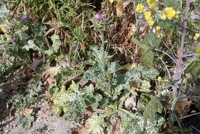 Milk Thistle, Silybum marianum, not native, coming into bloom.