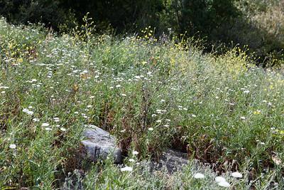 Cliff Astor, Malacothrix saxatilis and Black Mustard, Brassica nigra, not native