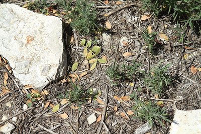 California Fuchsia, Epilobium canum. New plants growing in the path.