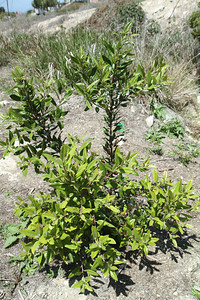 Toyon, Heteromeles arbutifolia. A new plant in the Restoration Area.