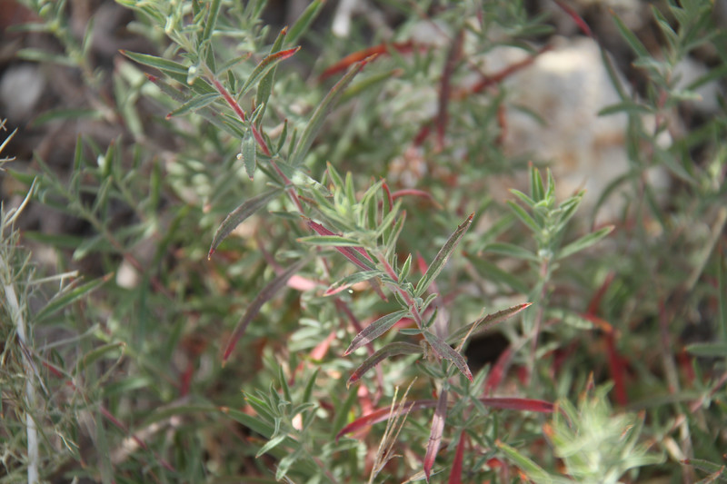 California Fuchsia, Epilobium canum. Two new plants were found near where an old one was.