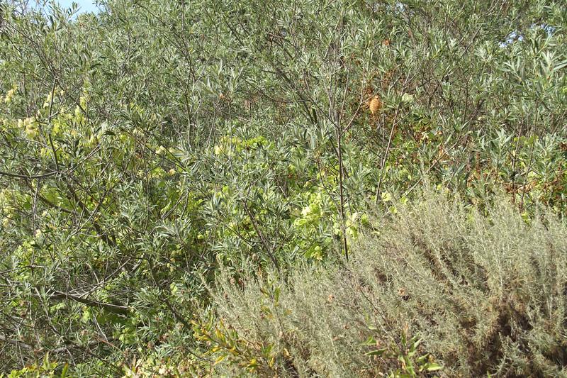 Arroyo Willow, Salix laseiolepis and Wild Cucumber, Marah macrocarpus
