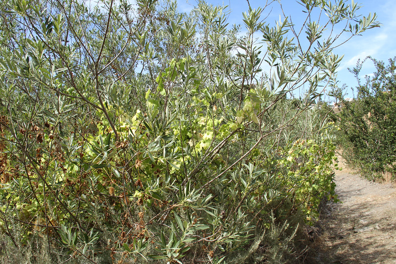 Arroyo Willow, Salix laseiolepis and Wild Cucumber, Marah macrocarpus