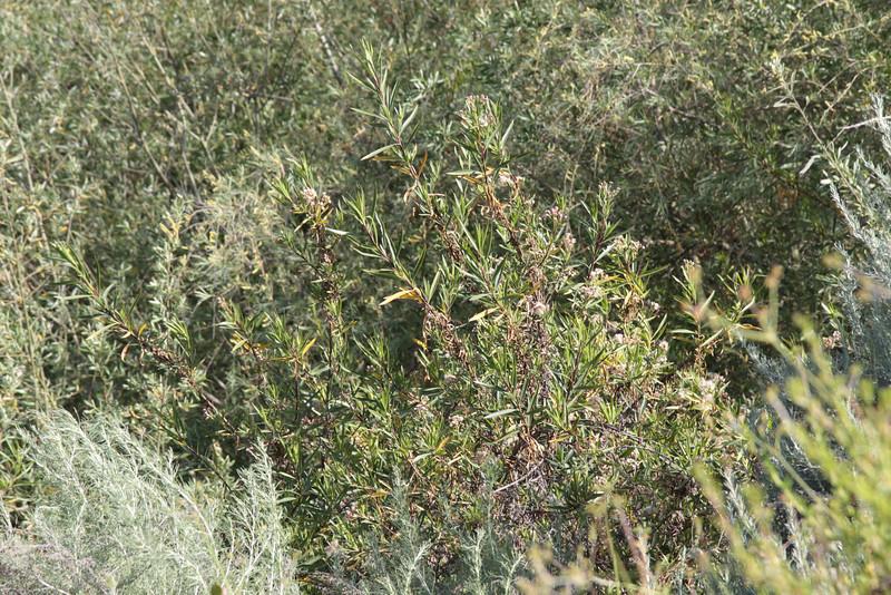Mulefat, Baccharis salicifolia