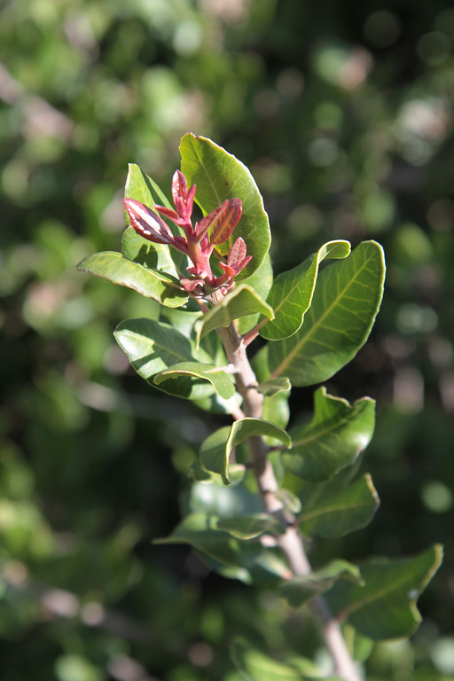 Lemonadeberry, Rhus integrifolia