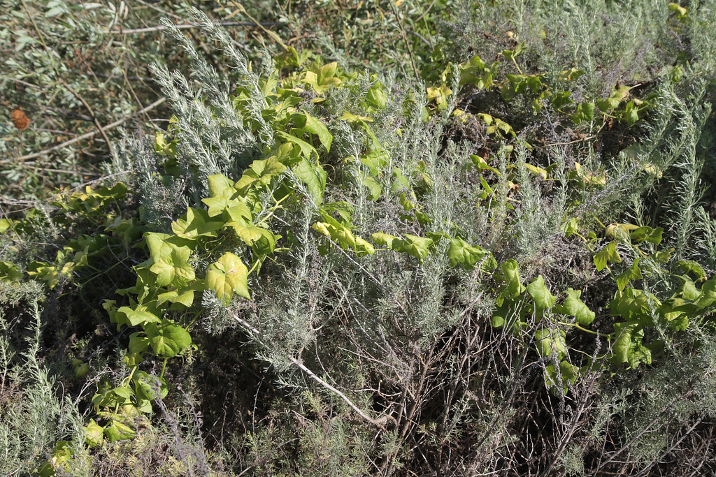 California Sagebrush, Artemisia californica laced with Wild Cucumber, Marah macrocarpus.