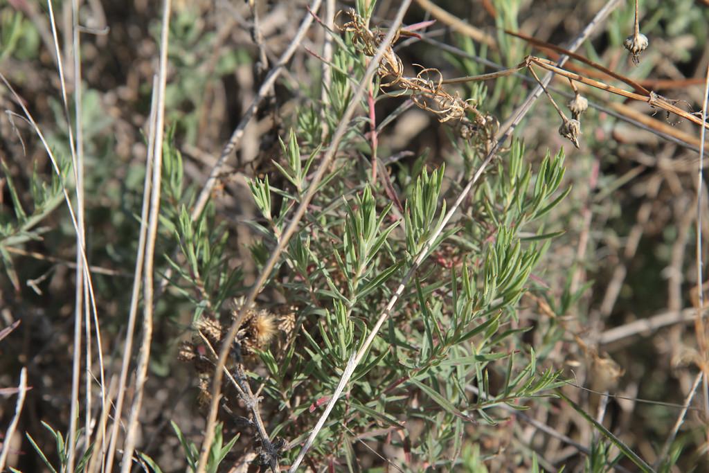 California Fuchsia, Epilobium canum