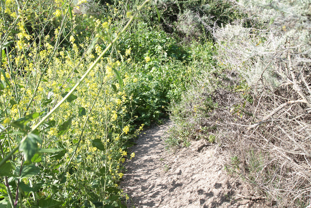 The path is getting overgrown with mustard.