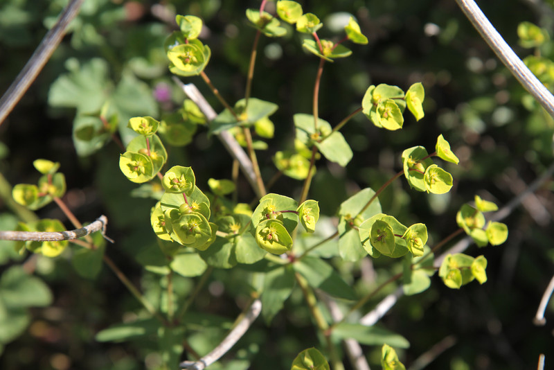 Spurge, Euphorbia terracina. Introduced from Kashmir, very invasive.
