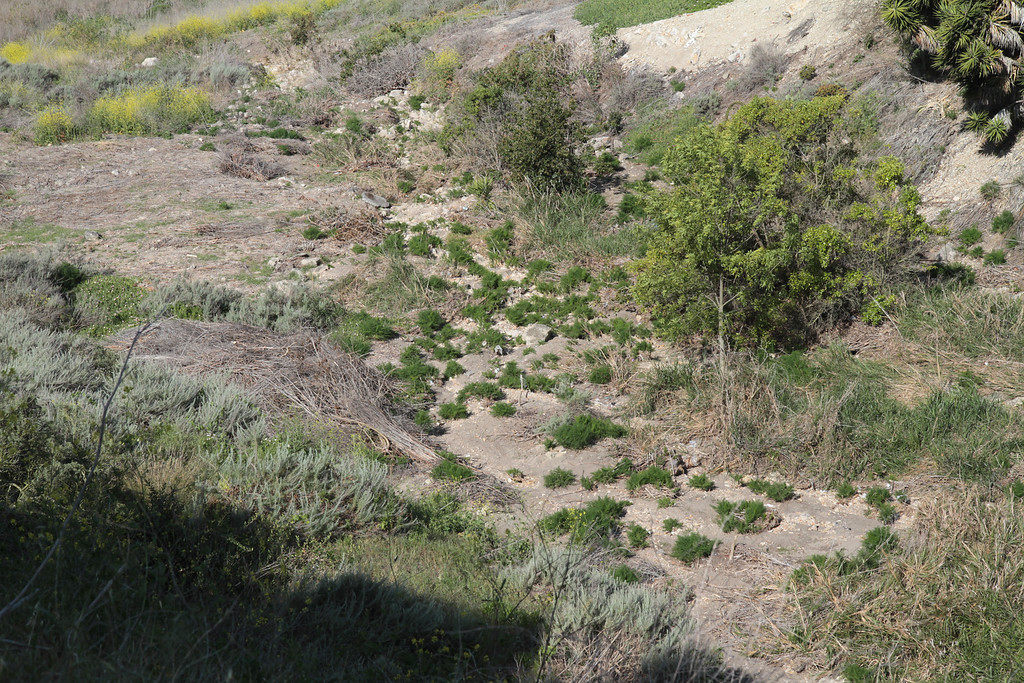 The center of the canyon has been cleared of fennel.