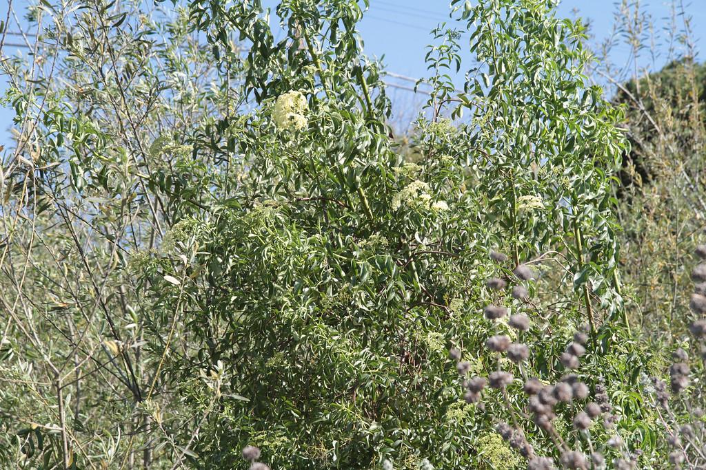 Blue Elderberry, Sambucus nigra L. ssp. caerulea
