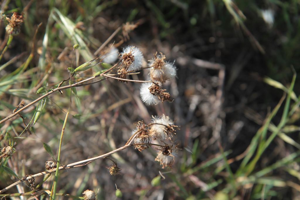 Cliff Aster, Malacothrix saxatilis