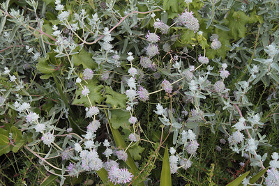 Purple Sage, Salvia leucophylla and Wild Cucumber, Marah macrocarpus