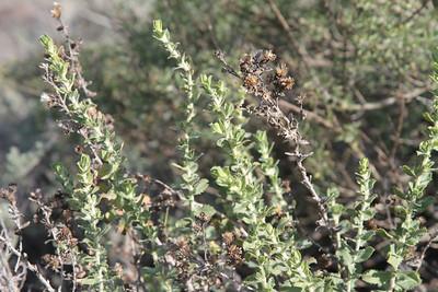 Sawtoothed Goldenbush, Hazardia squarrosa