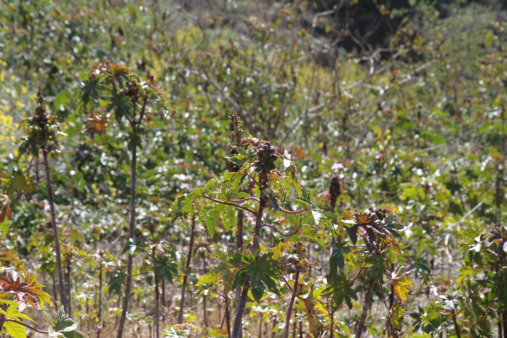 Castor Bean at the end of the Land Conservancy's property.