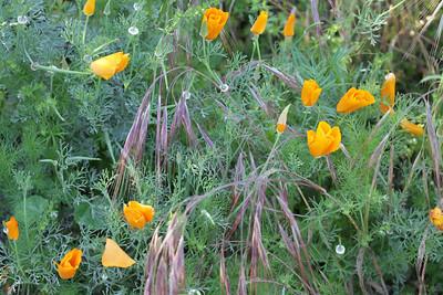 California Poppy, Eschscholzia californica