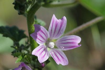 Cheeseweed, Malva parviflora, not native