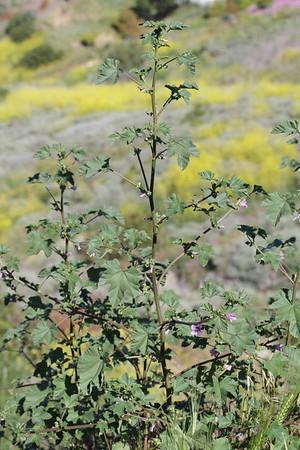 Cheeseweed, Malva parviflora, not native