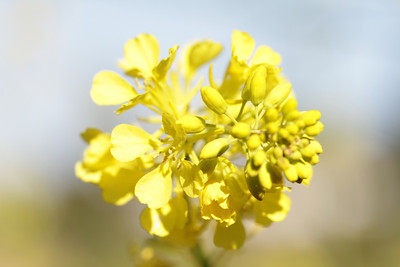 Black Mustard, Brassica nigre, not native