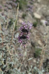 Purple Sage, Salvia leucophylla in the Restoration Area.