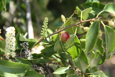Catalina Holly-leafed Cherry, Prunus ilicifolia ssp. lyoni