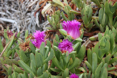 Sea Fig, Carpobrotus chilensis, not native