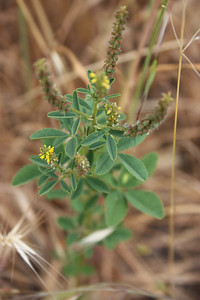 Yellow Sweet Clover, Melilotus officinalis, not native