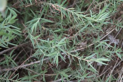 California Fuchsia, Epilobum canum