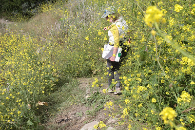 The mustard is overgrowing on the path.