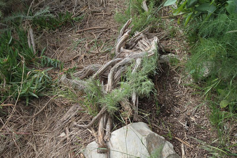 Artemisia blocking the path.