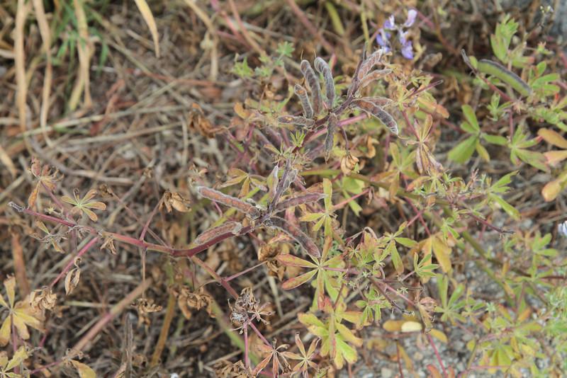 Arroyo Lupine, Lupinus succulentus