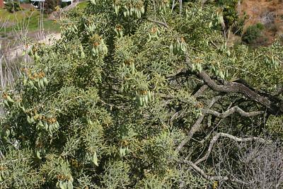 Bladderpod, Isomeris arborea