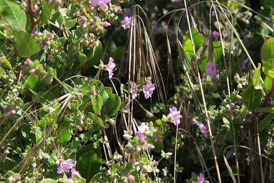 Wishbone Bush or Four-o'clock, Mirabilis californicus. The flowers are closed up in the afternoon.