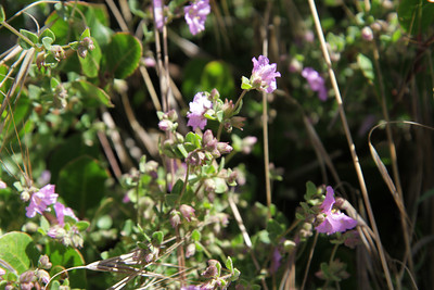 Wishbone Bush, Mirabilis californicus